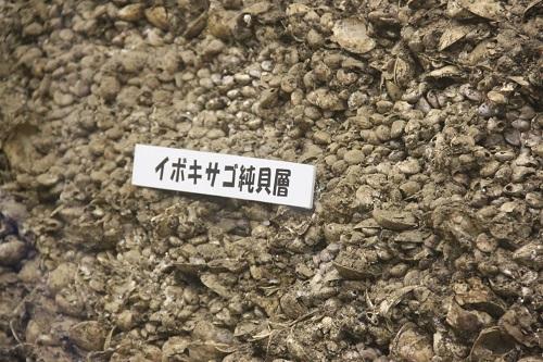 縄文人が良く食べていたイボキサゴ貝