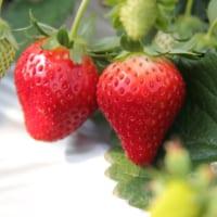 甘くておいしいイチゴの季節は千葉県のイチゴ狩りがオススメです。