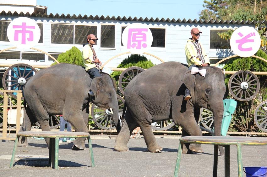 「市原ぞうの国」のゆめ花ちゃん(写真右)。絵を描くぞうとして人気です。日本初の日本で生まれ育ったゾウですが、適齢期のためお見合いに沖縄へ旅立ちました。