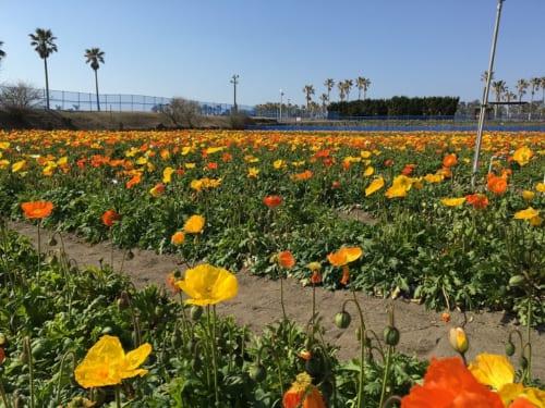館山ファミリーパークに咲く無数のポピー。お花摘みが楽しめます。
