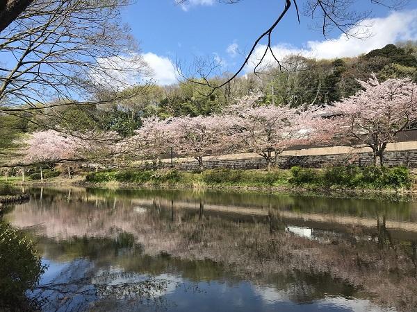花島公園の桜