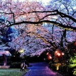 週末にはライトアップした夜桜も楽しめる千葉県市川市の里見公園
