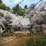 千葉県四街道市の福星寺と桜