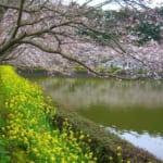千葉県袖ケ浦市にある袖ヶ浦公園の水辺の広場に咲く桜と菜の花