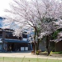 千葉県立房総のむらの桜