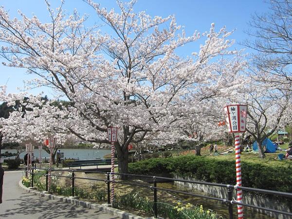 袖ケ浦公園の桜