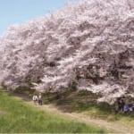 お花見スポットとして人気の埼玉県越谷市にある北越谷元荒川堤