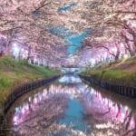 海老川ジョギングロードの桜