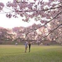 佐倉城址公園の桜