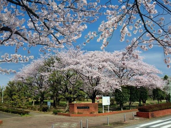 埼玉県三郷市の早稲田公園の桜の木