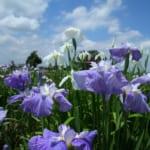 埼玉県久喜市の花しょうぶの名所