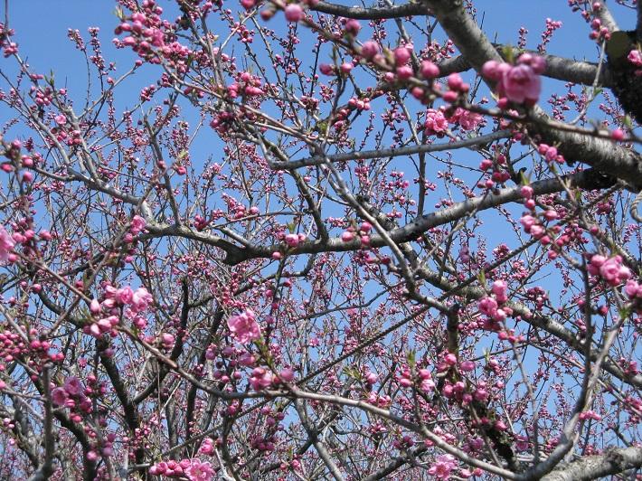 キレイに咲く花桃