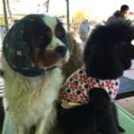 つくばわんわんランド 耳が長い犬はスヌードをつけてエサを食べるときに汚れを防ぐ