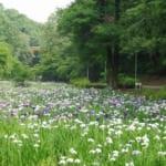 泉自然公園のハナショウブ