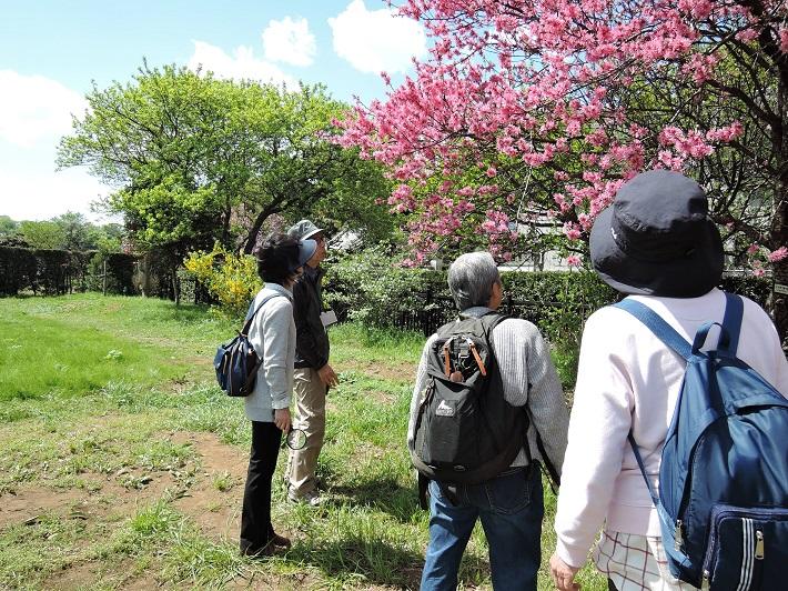 八重咲きのハナモモは庭の植樹としても人気