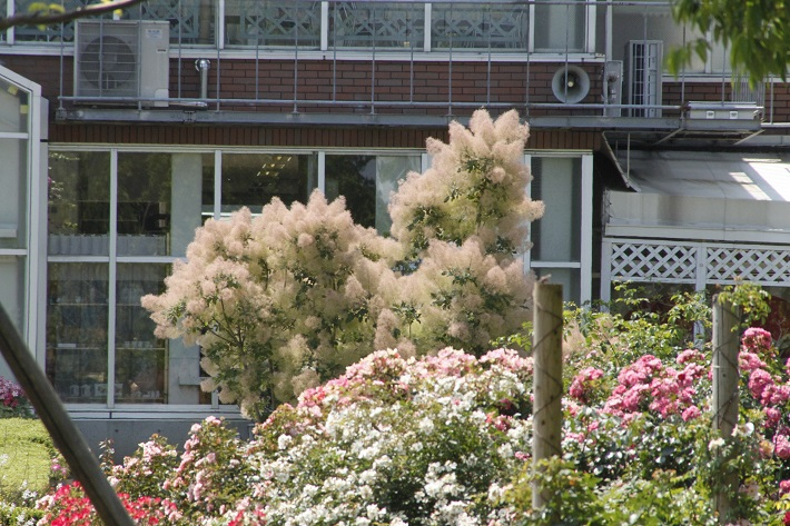 清水公園のスモークツリー