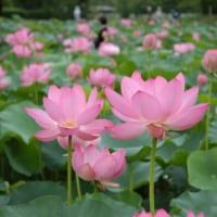埼玉県行田市の古代蓮の里に咲くピンクのハスの花