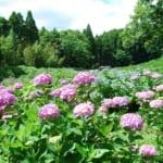 昭和の森のアジサイ園は初夏に見ごろを迎えます