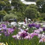 5月中旬に見頃を迎えた堀切菖蒲園のハナショウブ