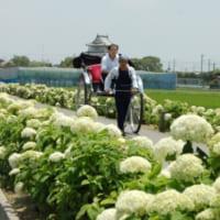 騎西城を背景に玉敷公園の白いあじさいの道を走る人力車