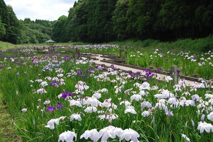 昭和の森のショウブ