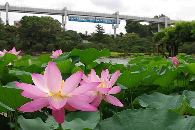 千葉公園のハス