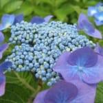 清水公園のアジサイ。この時期ならではの花を観賞しよう
