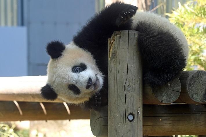 「(公財)東京動物園協会提供」シャンシャン