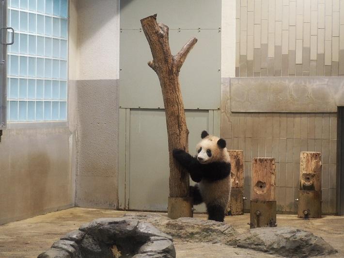 2018年3月16日撮影 上野動物園シャンシャンの木登り