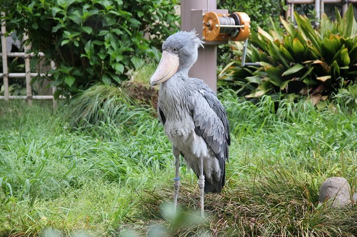 上野動物園 ハシビロコウ 動かない鳥として有名なハシビロコウは上野動物園の人気者