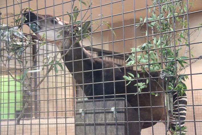 上野動物園のオカピ。長い舌を使って器用に草を食べます