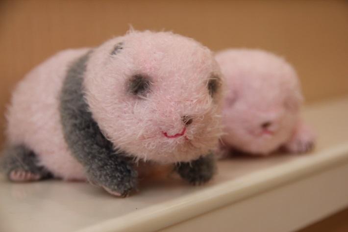 上野動物園お土産、ぬいぐるみ「ほんとの大きさのパンダの仔」284g(税込2,376円)と147g(税込1,728円)