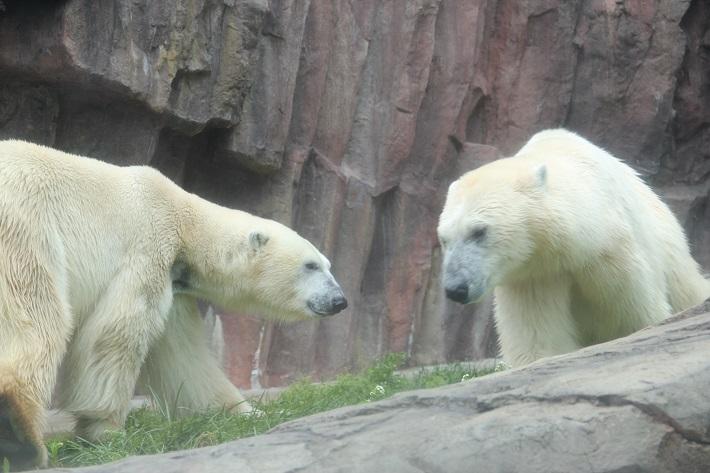 上野動物園 ホッキョクグマ 2頭のホッキョクグマは泳ぐのが得意