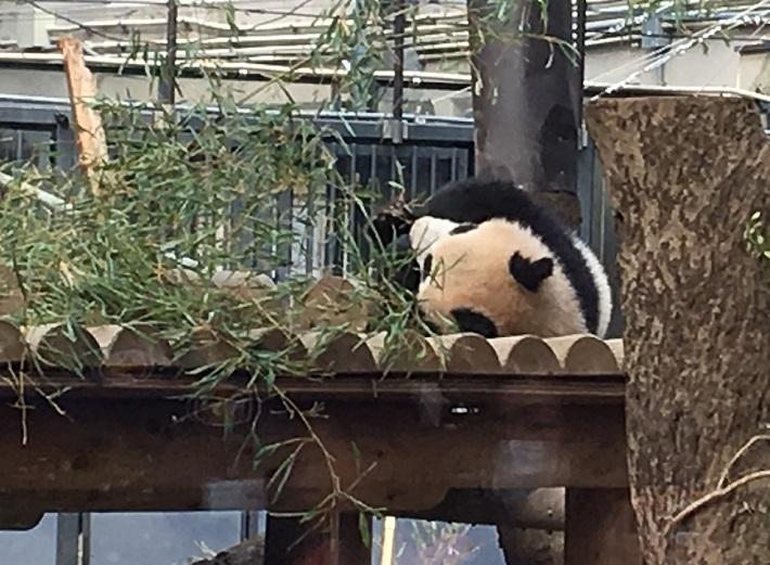 2018年3月27日撮影 上野動物園シャンシャンのお昼寝
