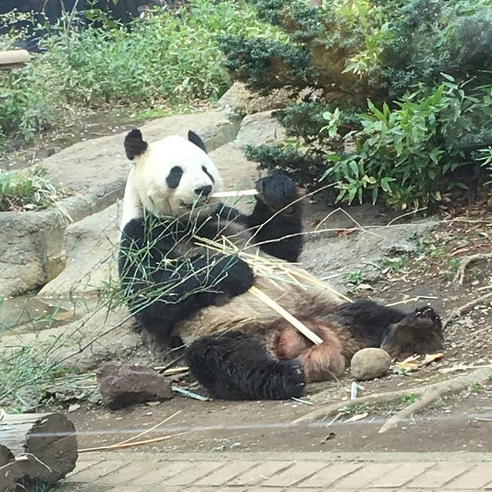 2018年3月27日撮影 上野動物園リーリー。リーリーはシャンシャンのパパ。