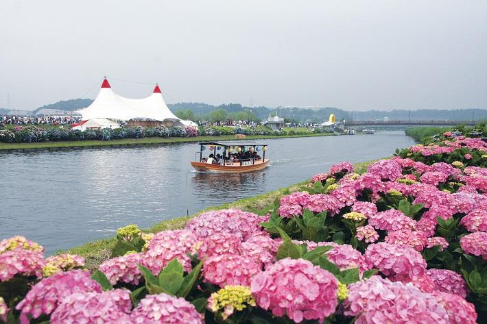 第34回ふるさと多古町あじさい祭りでは、町の花あじさいがお出迎え