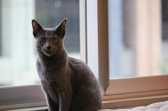 千葉市猫カフェMYAO人気猫ブウはロシアンブルー