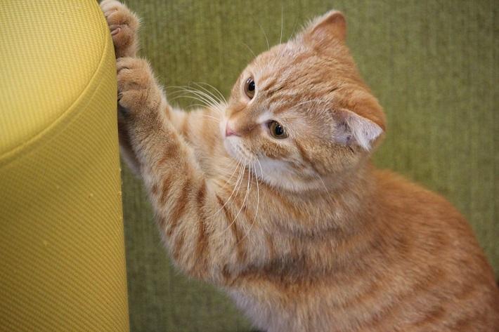 千葉市猫カフェMYAO人気猫のまぐろはスコテッィシュフォールドのおんなのこ