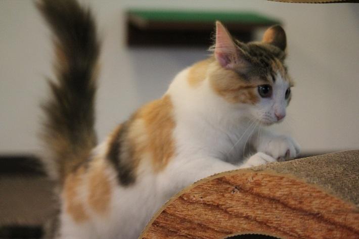千葉市猫カフェMYAO人気猫のバニラは、ノルウェージャンフォレスト・キャットのおんなのこ