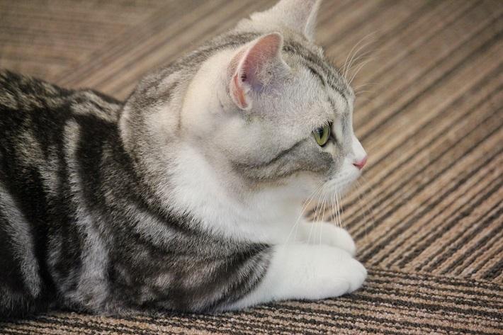 千葉市猫カフェMYAO人気猫の銀はマンチカンのおとこのこ