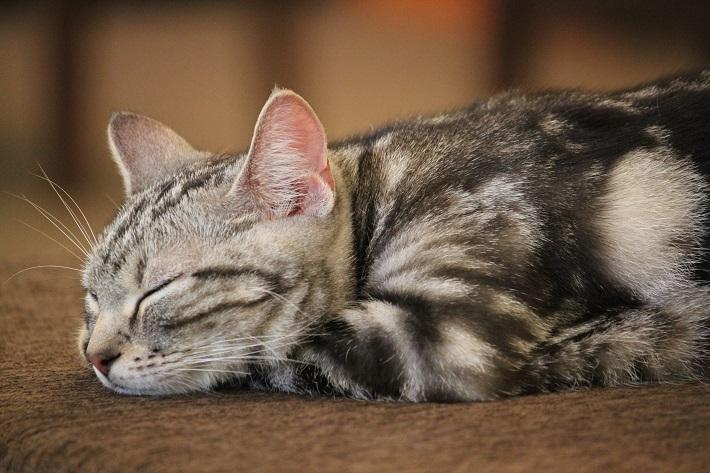 千葉市猫カフェMYAO人気猫ジョイはアメリカンショートヘアのおとこのこ