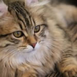 千葉市猫カフェMYAO、人気猫マロンは、アメリカンカールのおとこのこ