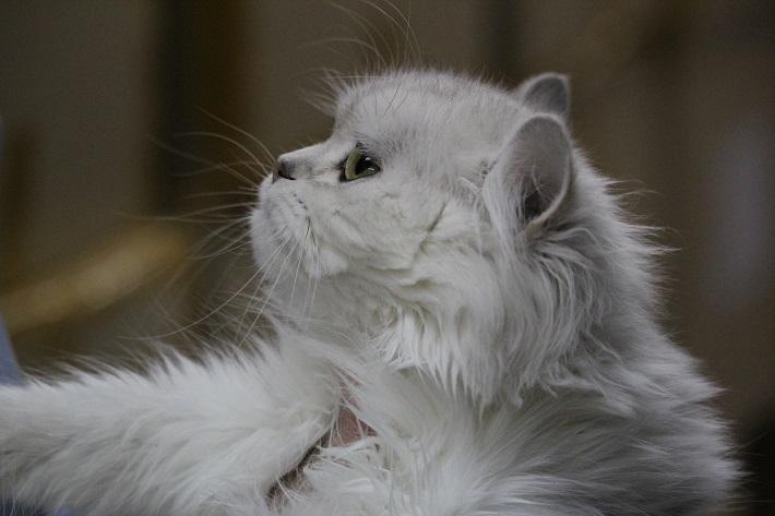 千葉市猫カフェMYAO人気猫シャネルはペルシャのおんなのこ