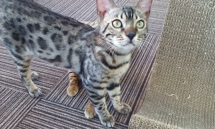 千葉市猫カフェMYAO人気猫ロイはベンガルのおとこのこ