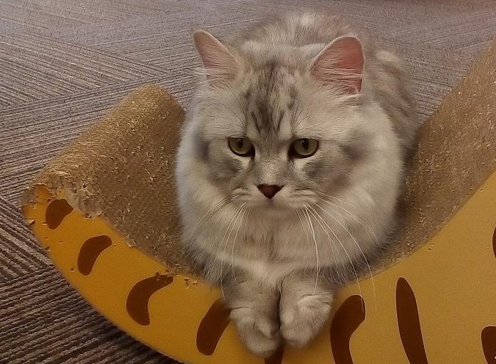 千葉市猫カフェMYAO人気猫のムーンはマンチカンのおとこのこ