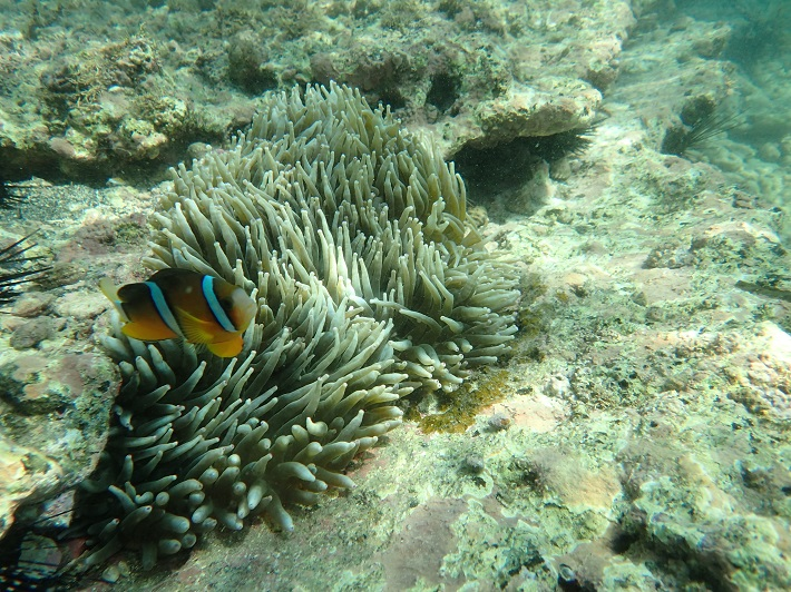 沖ノ島のシュノーケリングではイソギンチャクやクマノミ、サンゴが観察できます