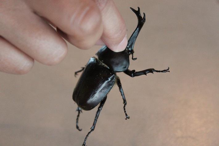 昆虫ドームでカブトムシのオスの持ち方を教えてもらいました。2本ある角の短いほうの角を持ちます。