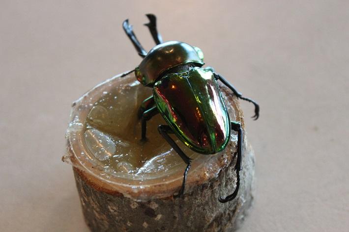オーストラリアのニジイロクワガタは、昆虫ドームで開催される昆虫講座で登場するよ