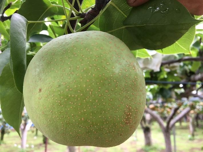 「初清園」の梨「かおり」は香りが高く、おいしいと評判