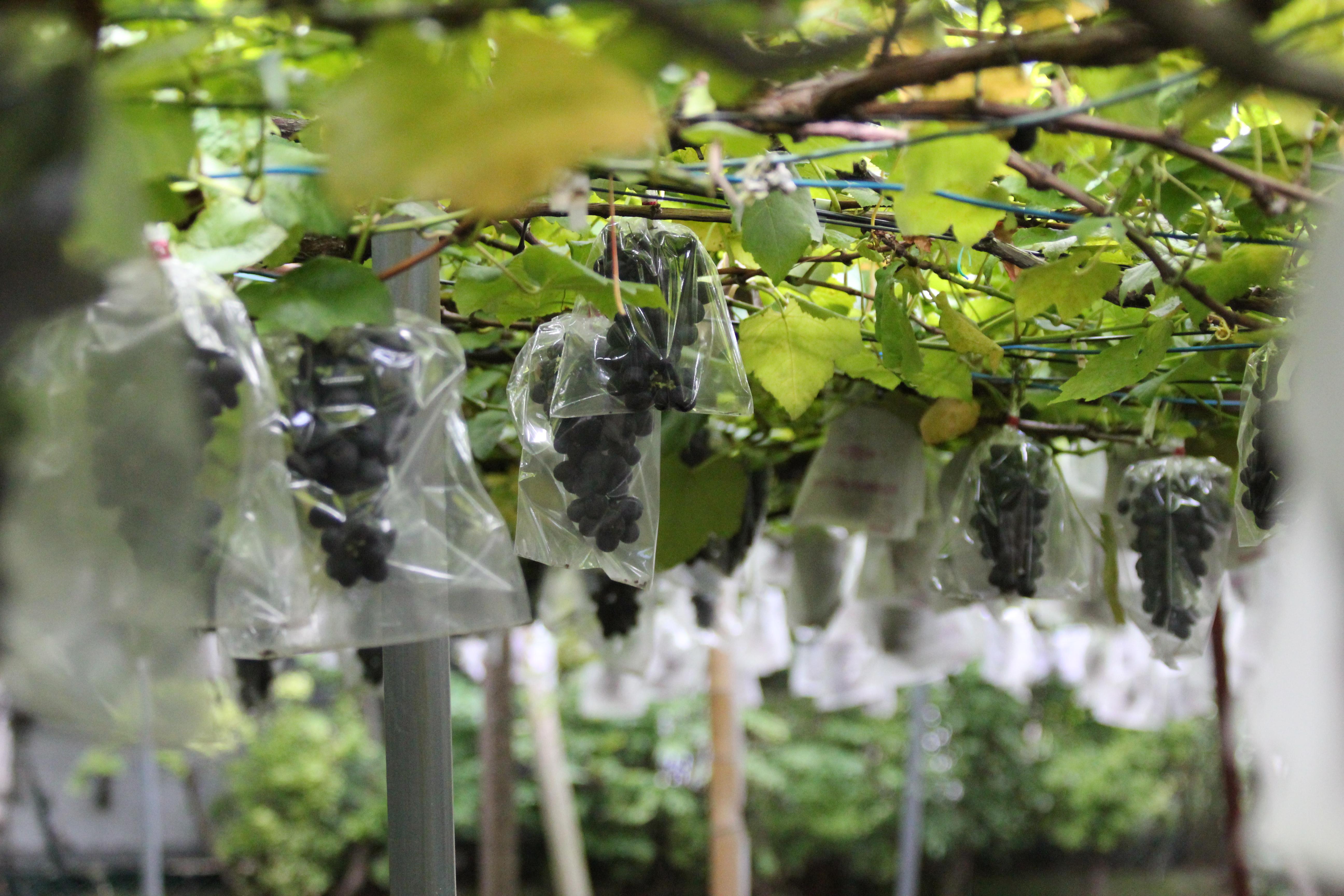 「初清園」のぶどうの木。品種はバッファロー